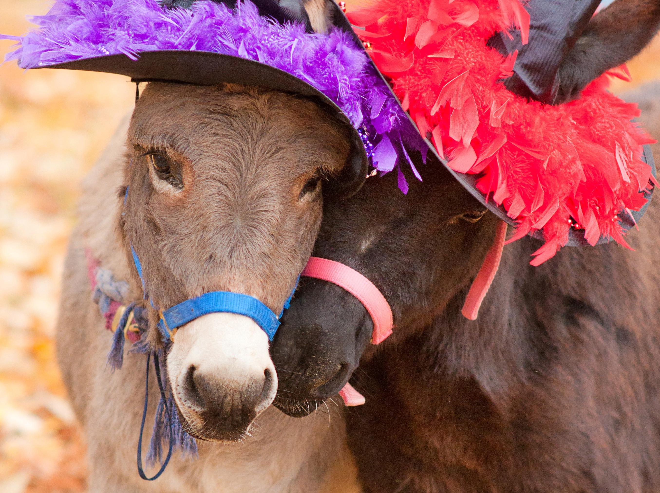Halloween Donkey Divas