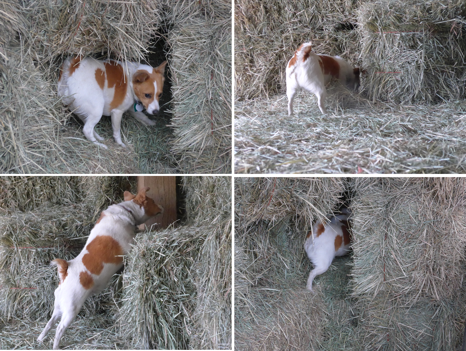 2015_Kola Hunting in the Hay