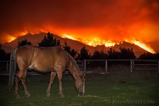 Dunrovin's horse, Rocket, quiely grazes while the Lolo Peak fire blazes through the forests of the Bitterroot Mountains