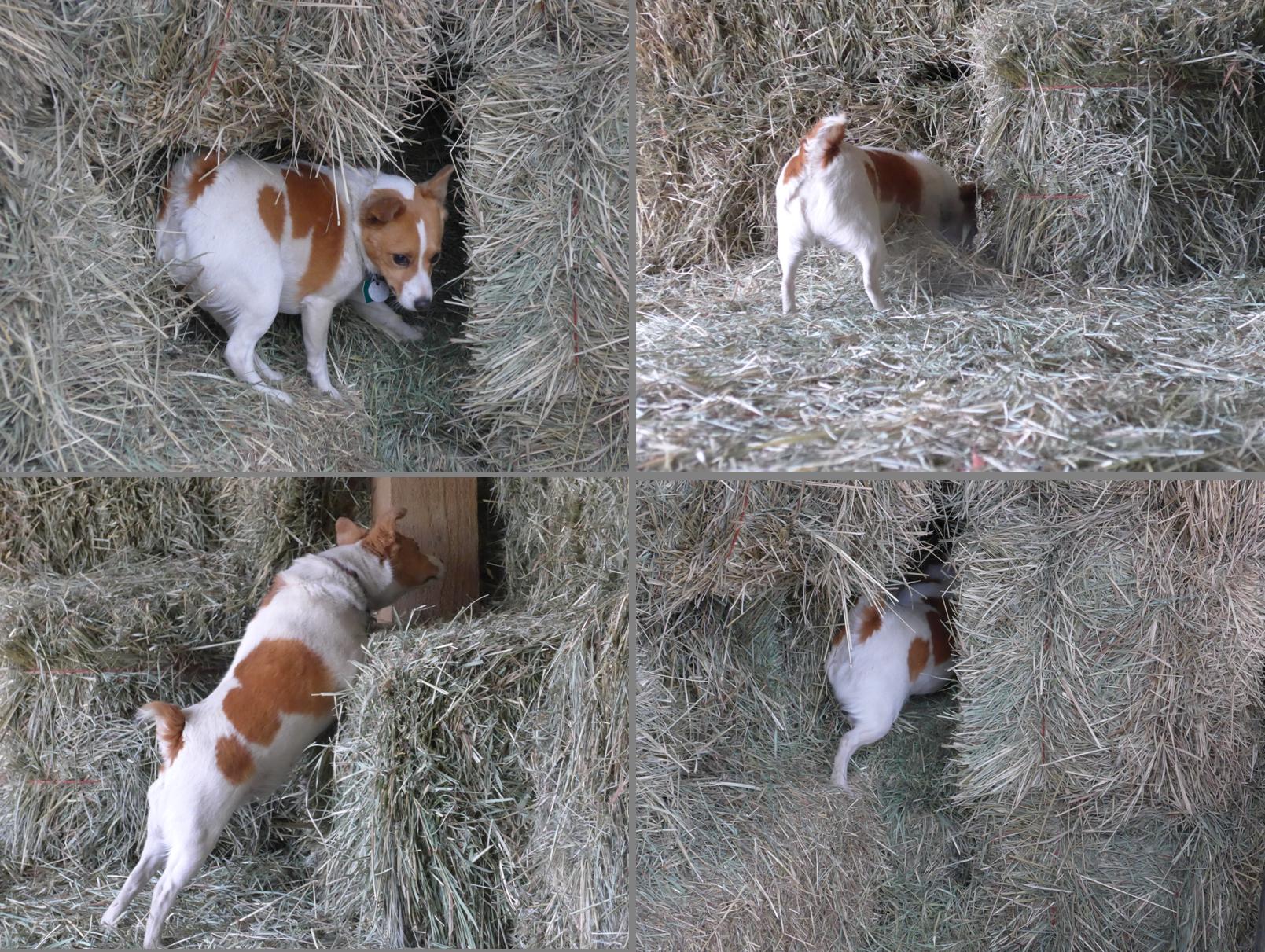2015_Kola Hunting in the Hay